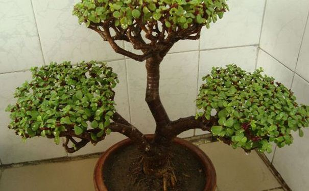 马齿苋树有毒吗 马齿苋树的药用价值与副作用