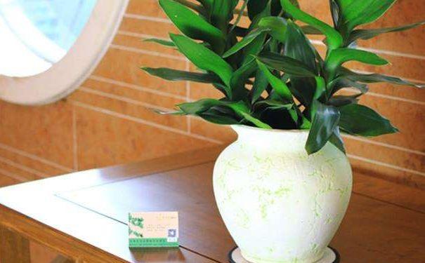 莲花竹水插水养步骤 莲花竹水培要点与叶黄原因